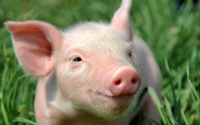 Свиньи тупые животные