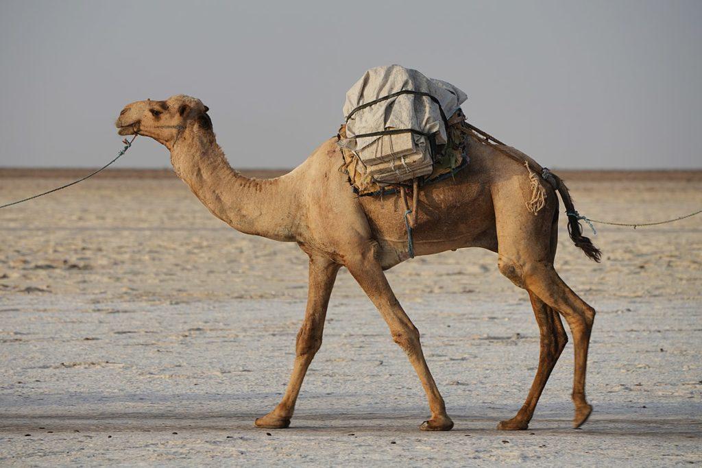Верблюд Популяция
