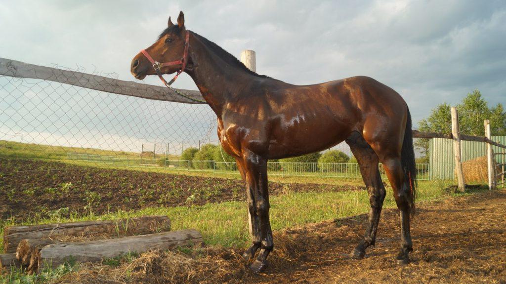 Лошадь Описание