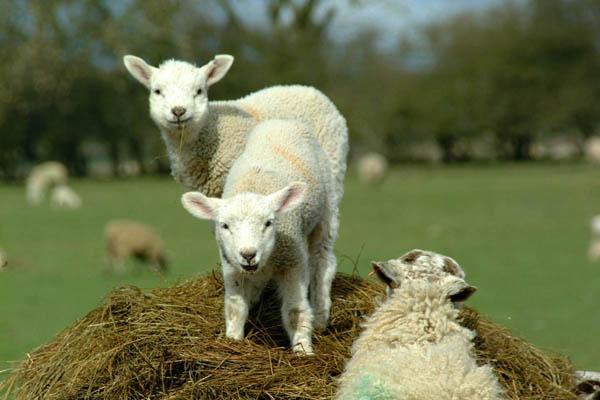 Дрессировка и особенности овец