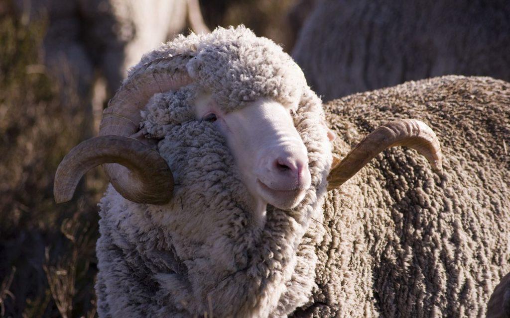 Декоративные породы овец