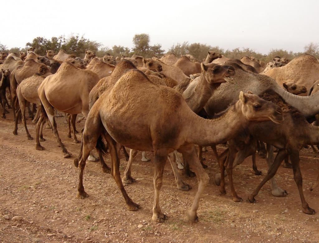 Верблюд Использование