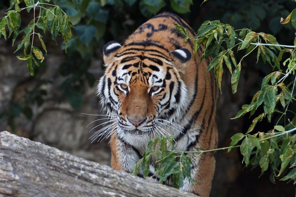 Амурские тигры ночью
