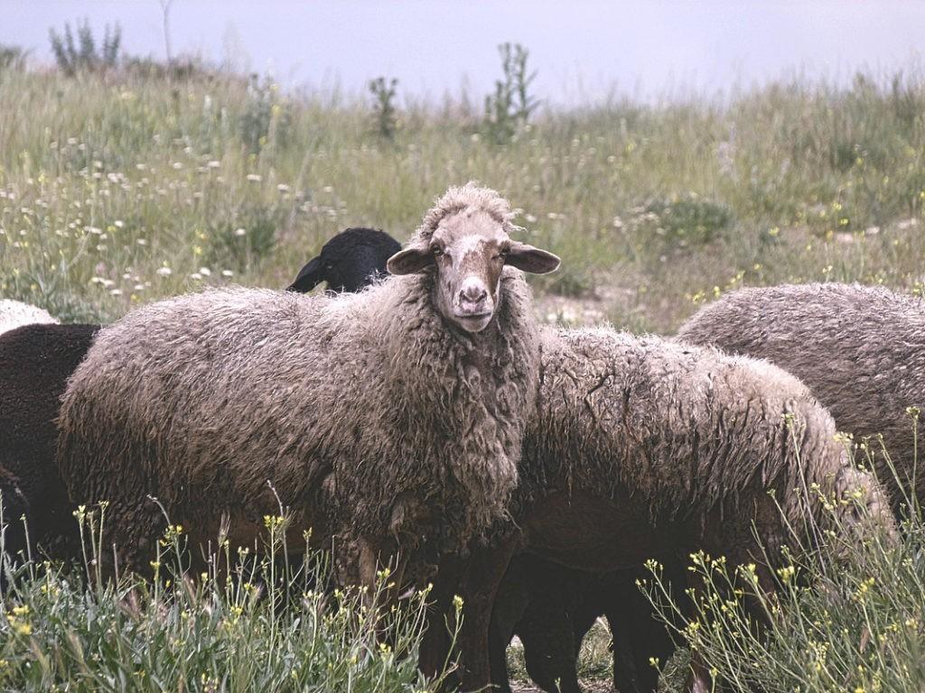 Самец и самка овец: основные отличия