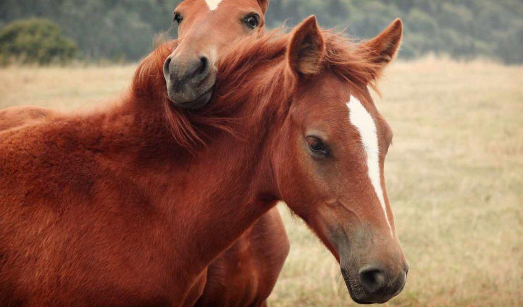Лошадь Поведение
