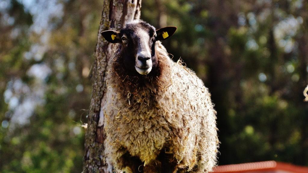 Распространение овец