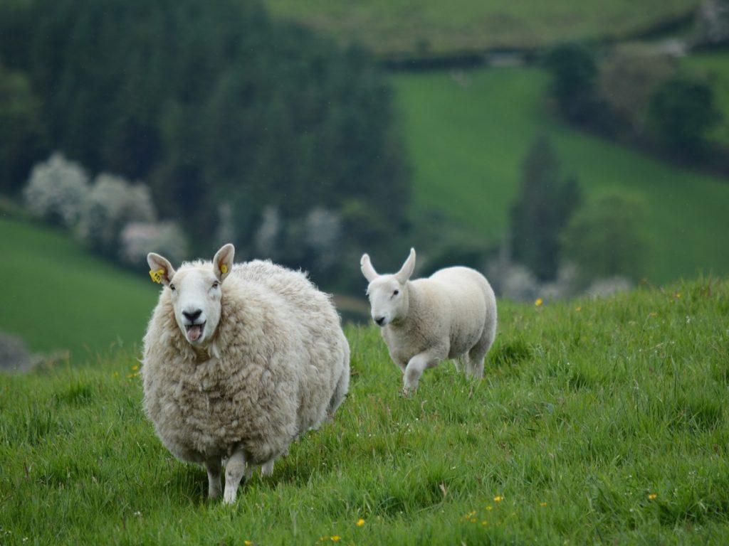 Размеры и масса овец