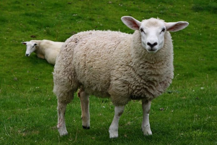 Поведение овец