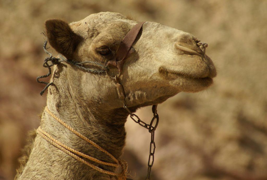 Верблюд Распространение