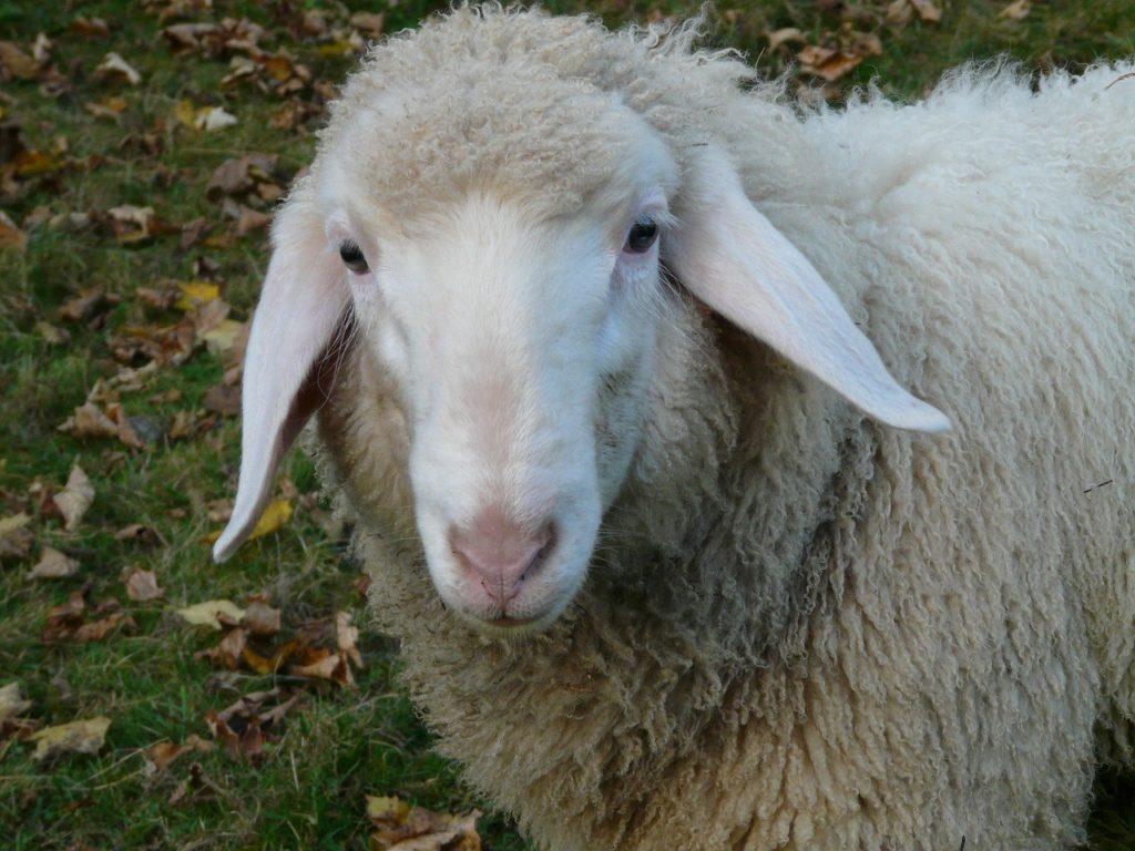 описание овец