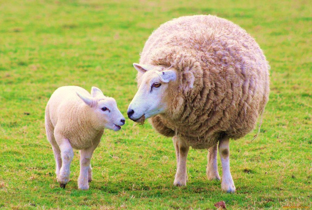 Для чего выращивают овец?
