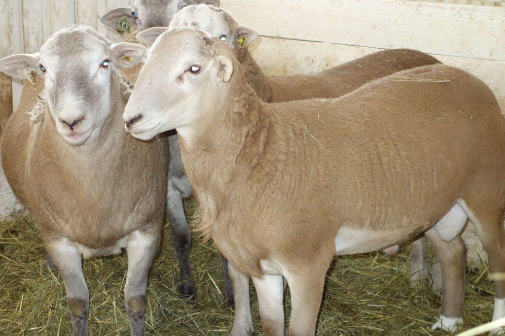 Телосложение овцы