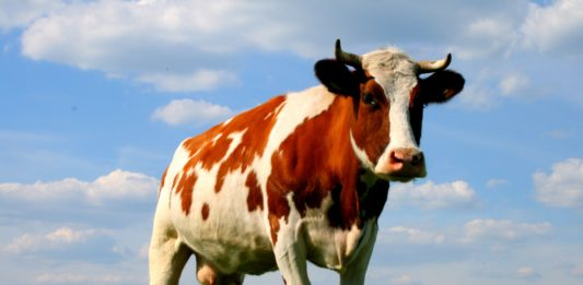 Фотография коровы (Bos taurus taurus)