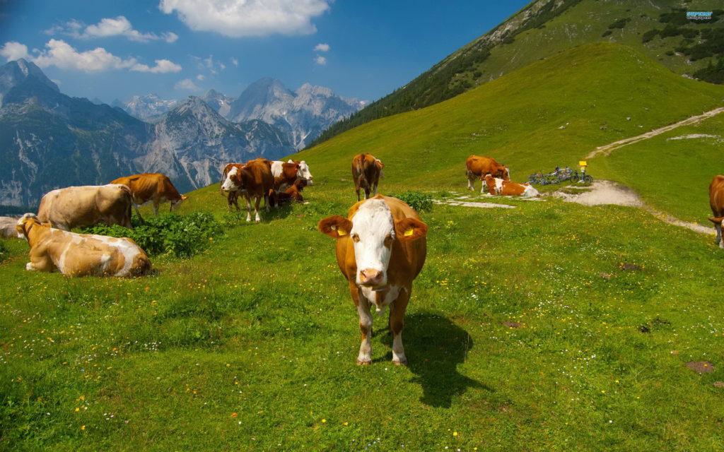 Поведение коровы