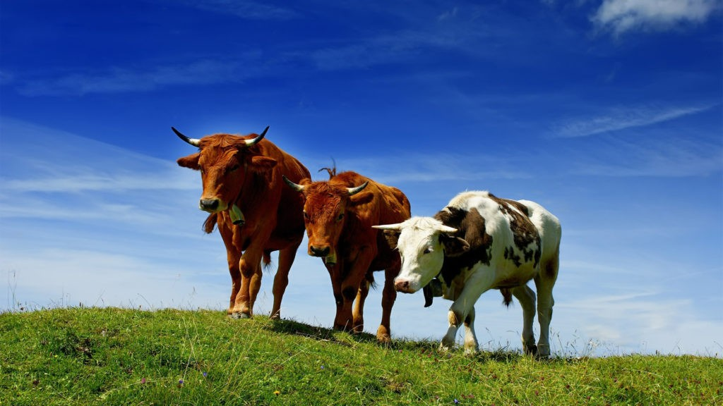 Распространение коровы фото