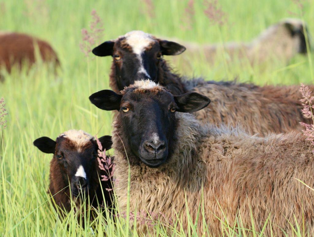 Распространенные породы овец