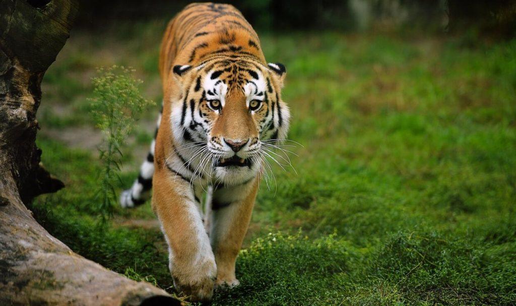 особенности питания амурского тигра