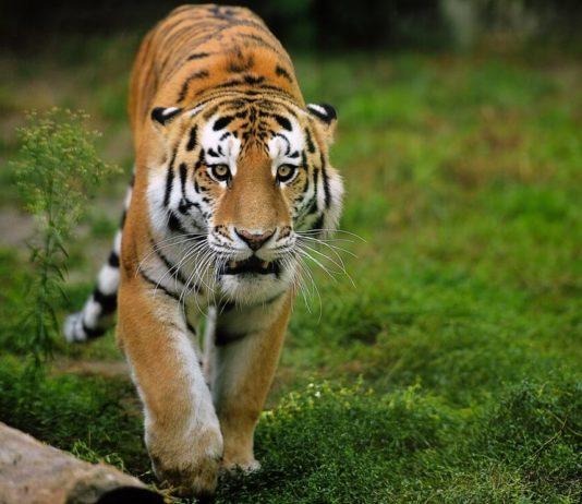 Амурские тигры – одни из наиболее малочисленных среди своих сородичей, численность популяции сегодня едва превышает 500 животных. Меньшее количество сохранилось только для суматранских тигров (до 500 особей) и южно-китайских (практически вымерли, 30 особей). Экологи стараются максимально усиливать охрану этих видов, чтобы предотвратить их полное вымирание.