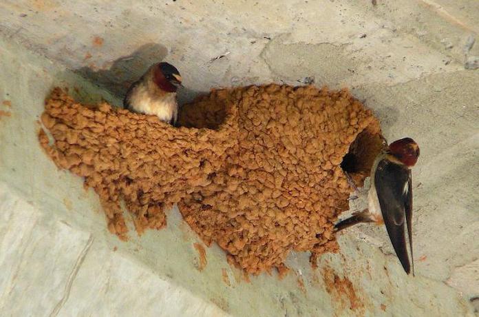 Гнездо Рыжепоясничной ласточки
