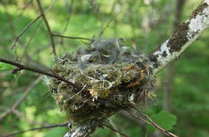 Такое гнездо строит зяблик