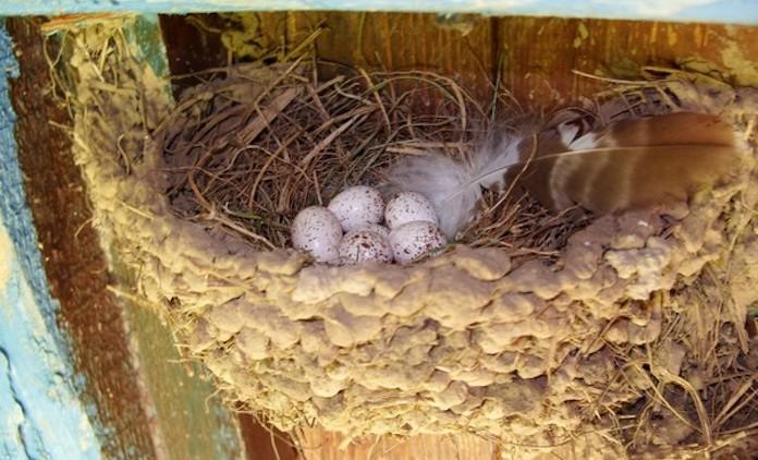 Яйца ласточки