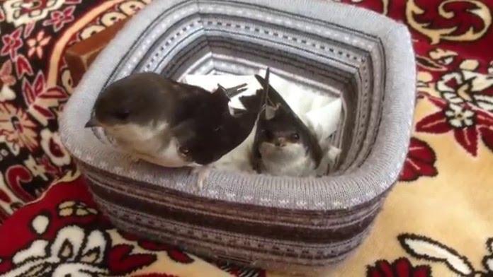 Ласточка в домашних условиях