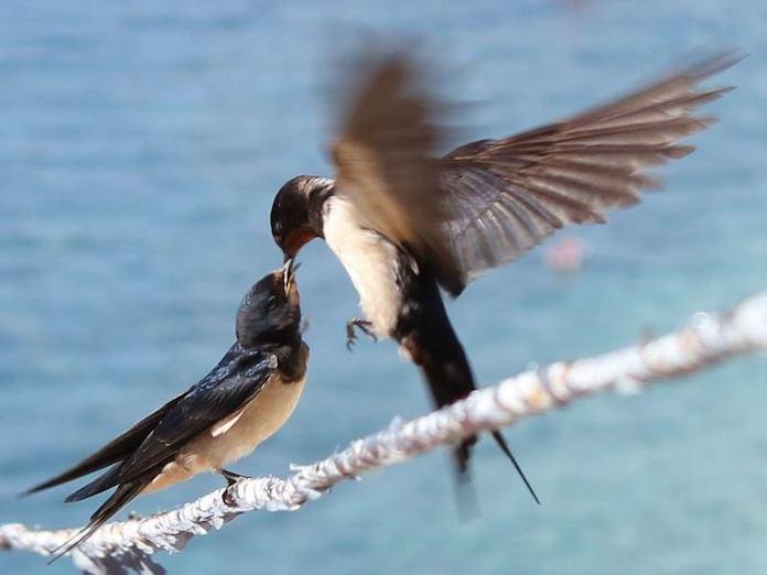 Спаривание самца и самки ласточки