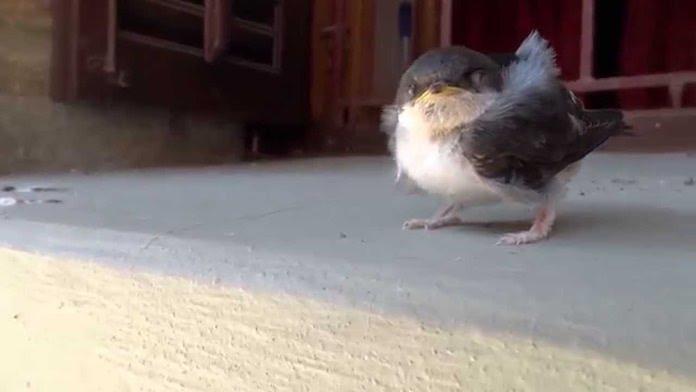 Что делать если птенец ласточки выпал из гнезда