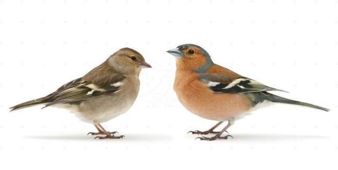 Самец и самка зяблика - изображение