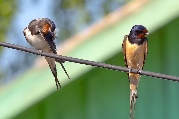 Самец и самка ласточки на проводе - фото