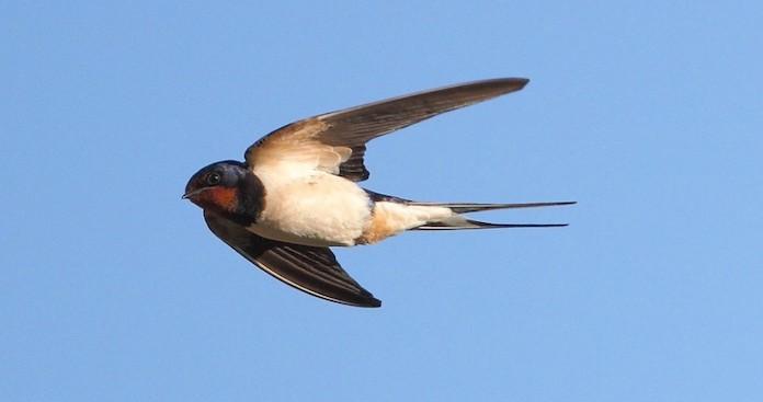 Ласточка фото птицы в полете