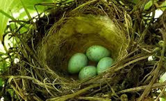 Яйца зяблика фото