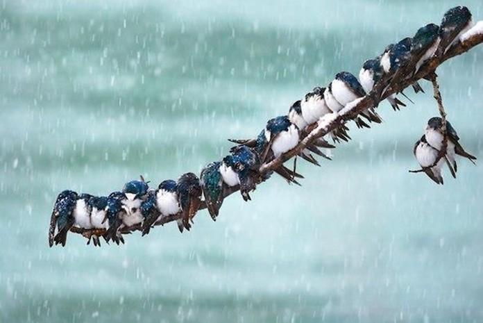 Ласточки зимой