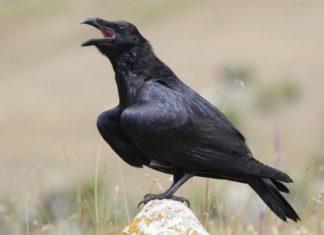Ворон хищная птица