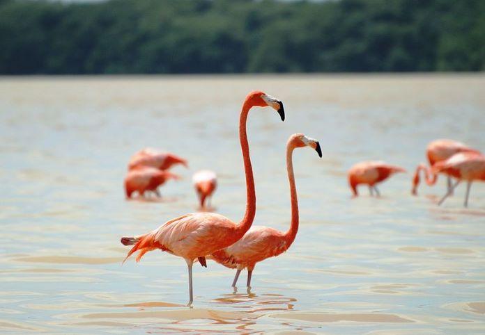 Фламинго птица