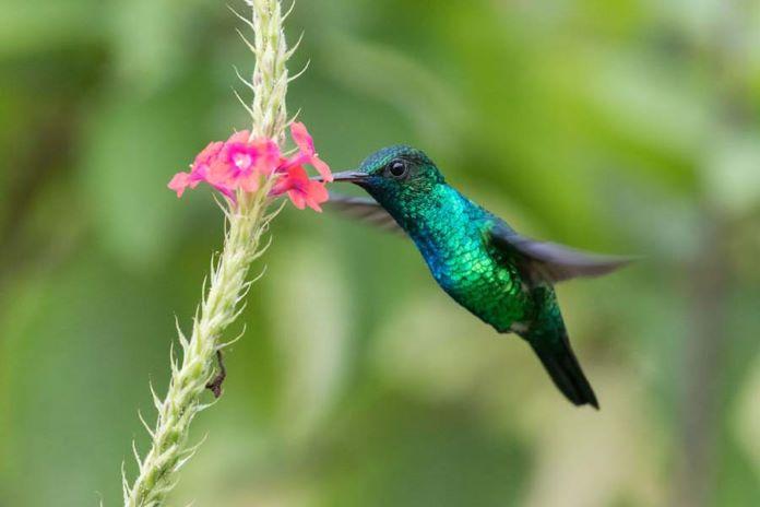 Что ест колибри