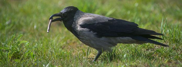 Сколько живет ворона
