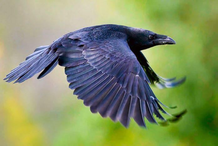 Ворон перелетная птица или нет