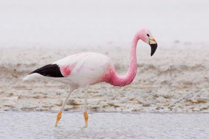 Андский фламинго