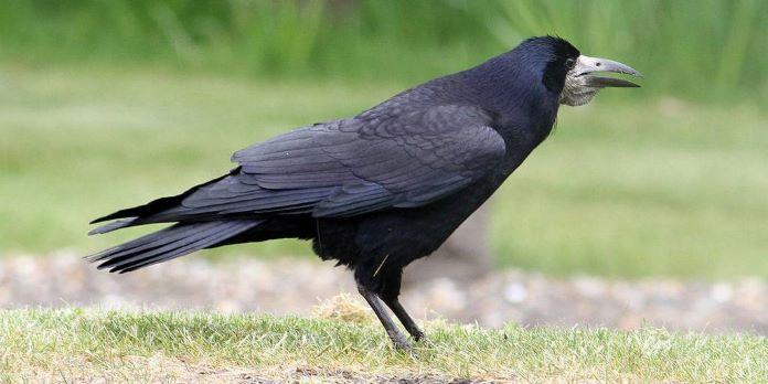Ворона и грач отличия