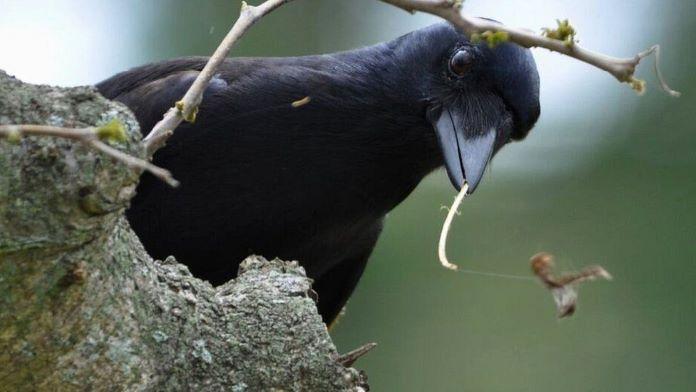 Умная птицы ворон