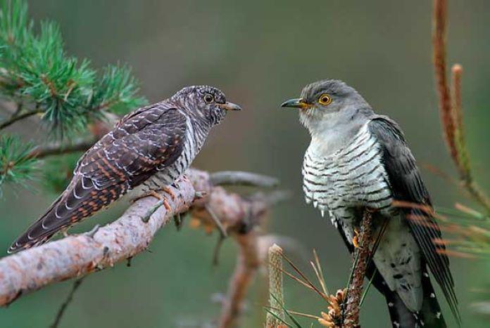 Полигамные птицы