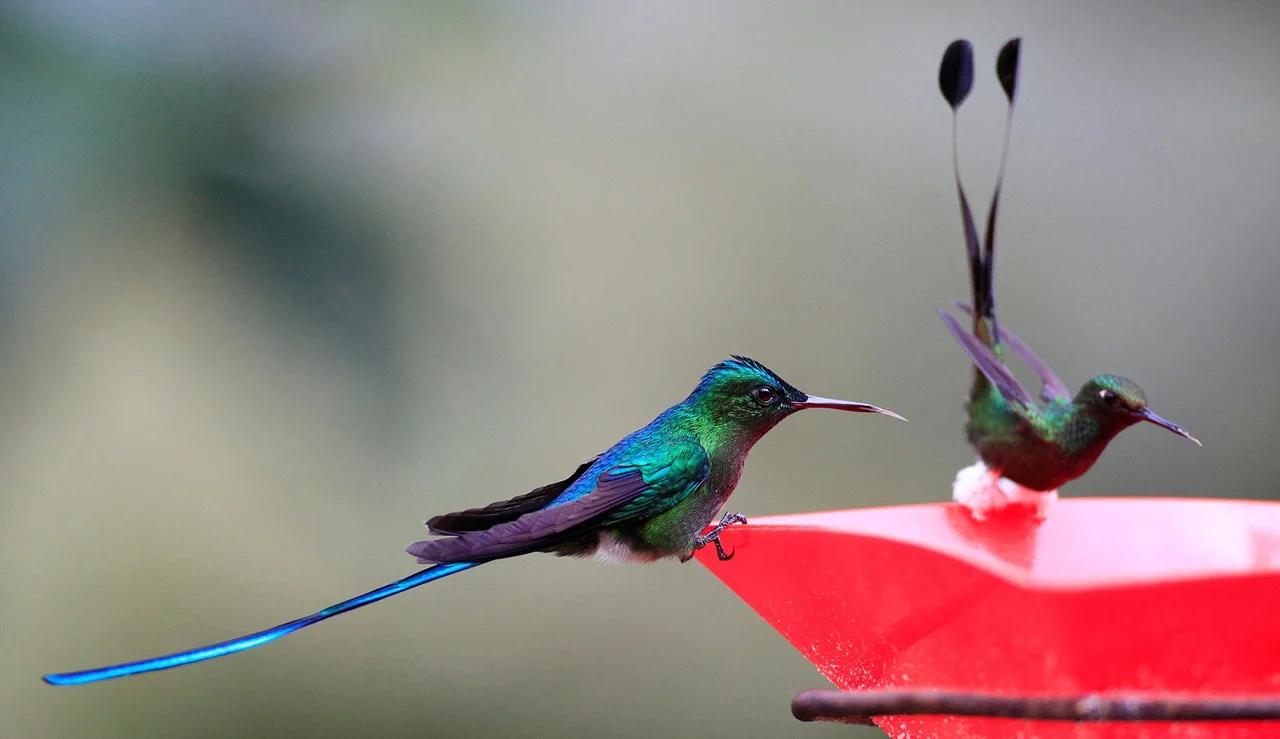 Самцы колибри