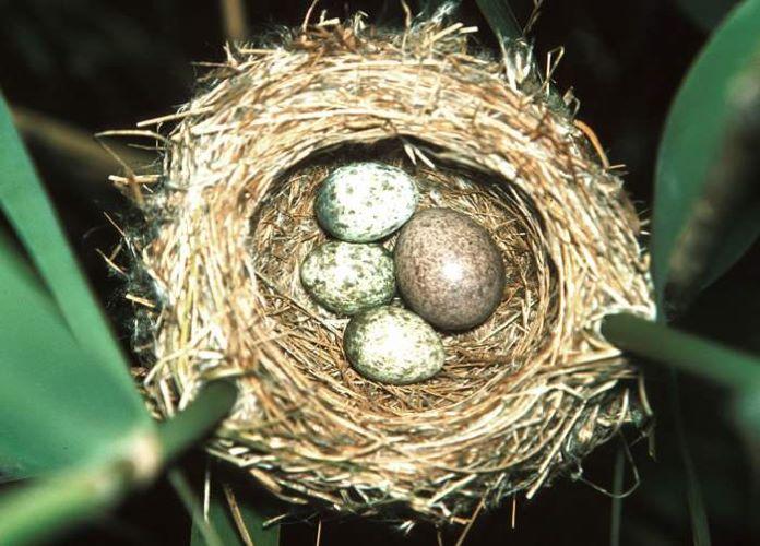 Почему кукушка подбрасывает яйца
