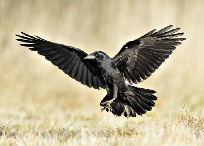 Грач перелетная птица