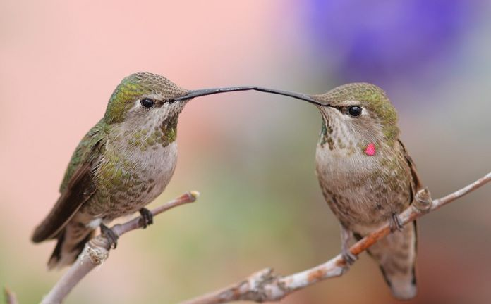 Самка и самец колибри