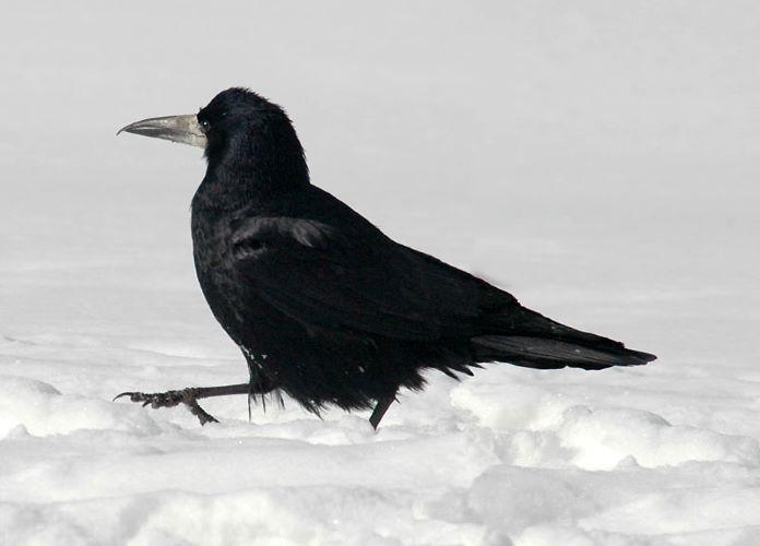 Грач перелетная птица или нет