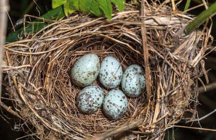 Яйцо кукушки