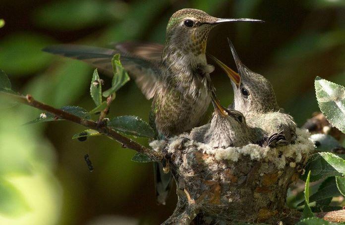 Самки колибри
