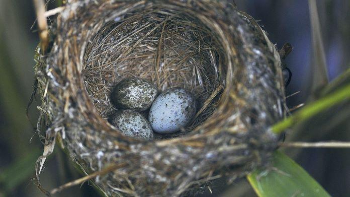 В гнезда каких птиц кукушка откладывает яйца